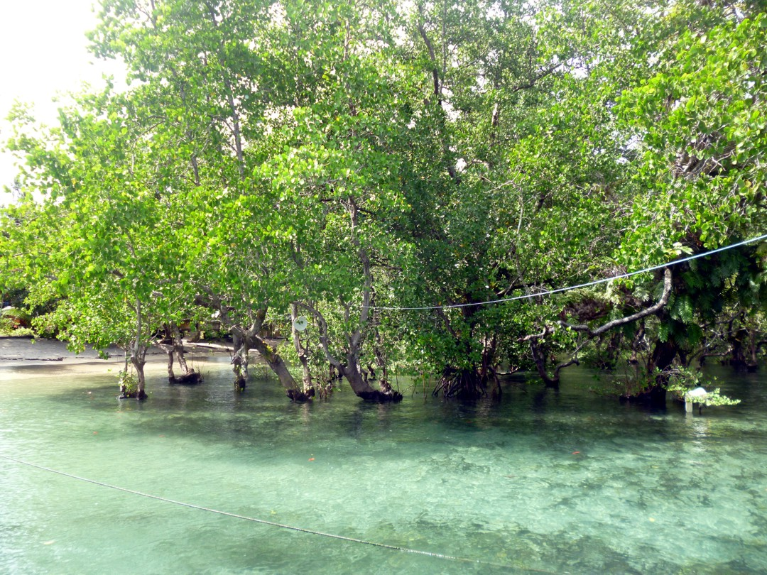mangrovea